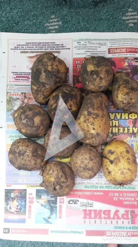 Реализую картофель разных сортов. Томская область,  Томск