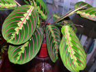 Маранта (maranta) - декоративно-лиственное комнатное растение, относится к семейству марантовых.
