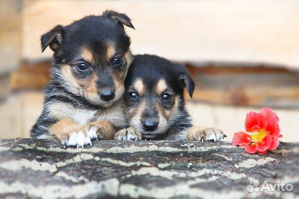 Отдам даром щенки норка и земфира ждут хозяев в санкт-петербурге