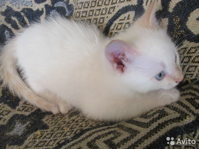 голые кошки купить: