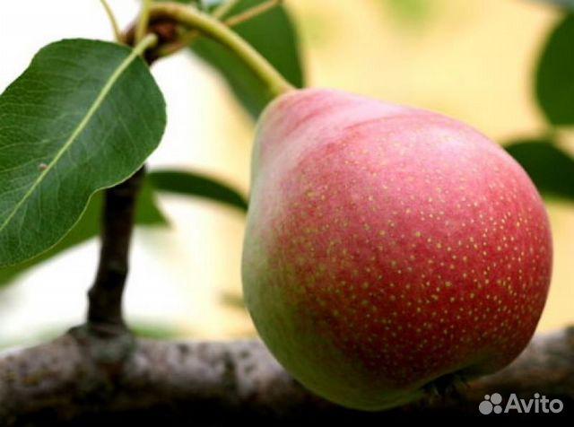 """Мраморная """" Статьи для садоводов, сорт яблок, сорта яблонь, …"""