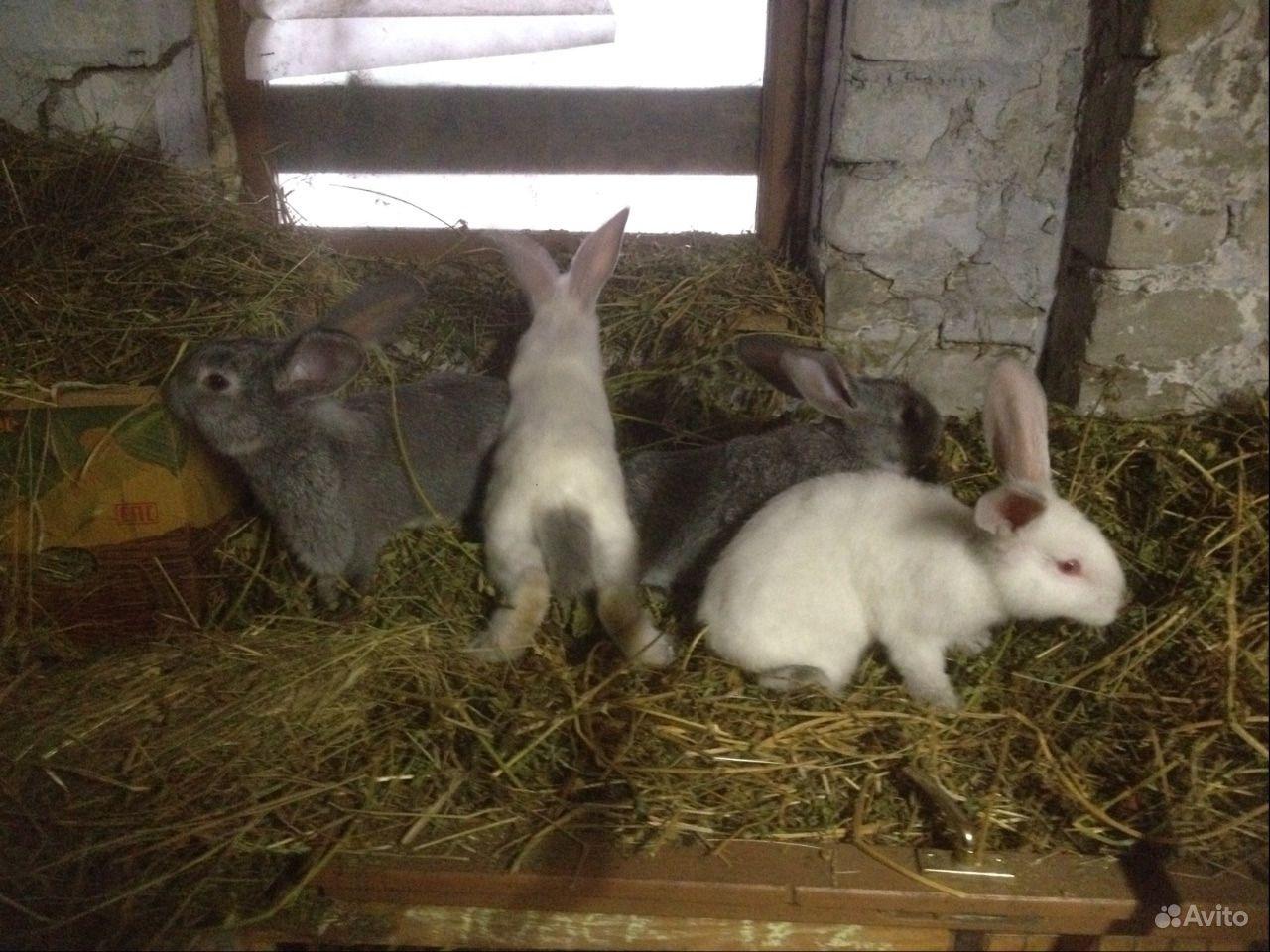 Крольчата помесные 1,5 месяцев