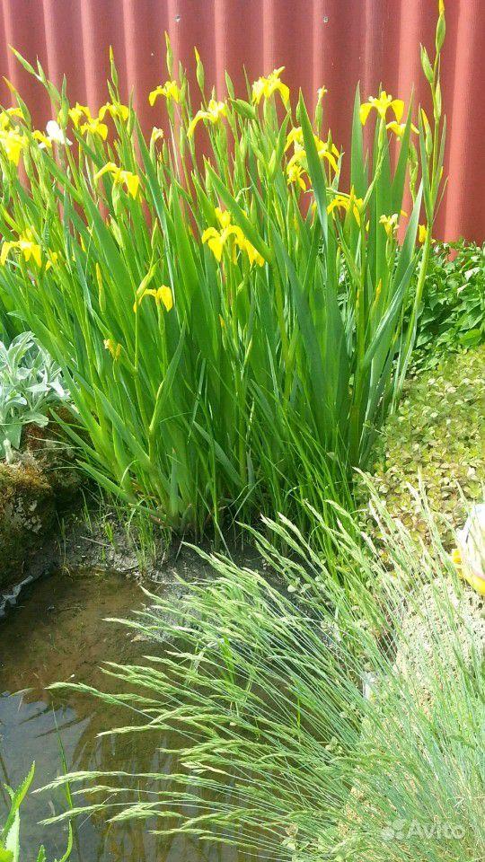 Растения для пруда купить на Зозу.ру - фотография № 2