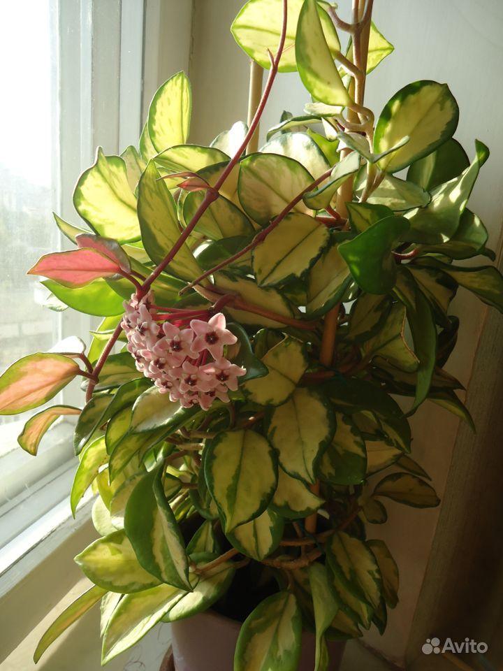 Хойя (цветущая) купить на Зозу.ру - фотография № 8