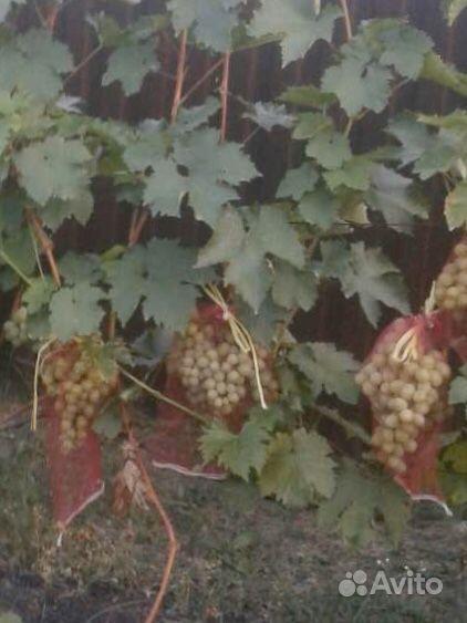 Мешочки для защиты винограда купить на Зозу.ру - фотография № 1
