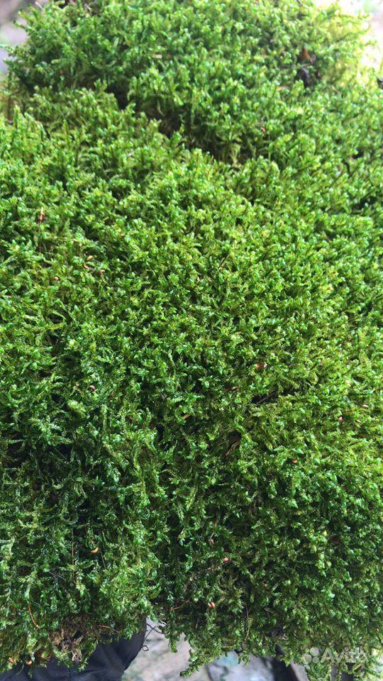 Стабилизированный мох пластовой (толстый) купить на Зозу.ру - фотография № 1
