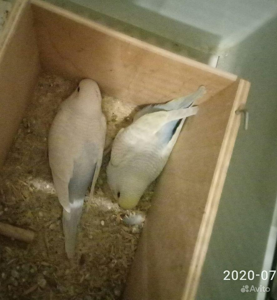 Волнистый попугай купить на Зозу.ру - фотография № 2