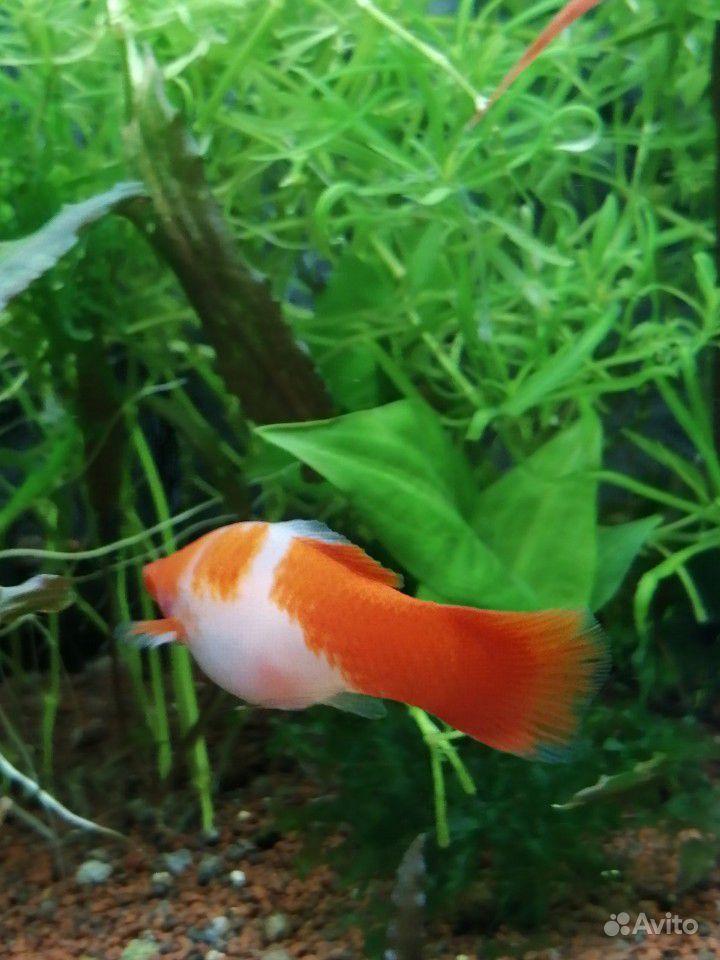 Меченосцы аквариумные рыбки купить на Зозу.ру - фотография № 3