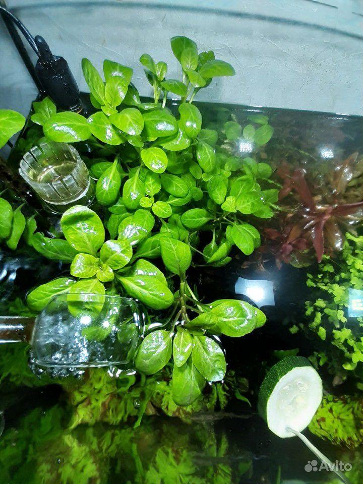 Растения для аквариума купить на Зозу.ру - фотография № 3
