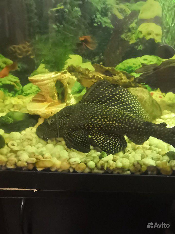 Продам рыбок купить на Зозу.ру - фотография № 6