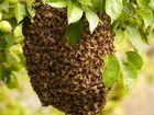 Сниму рой пчёл