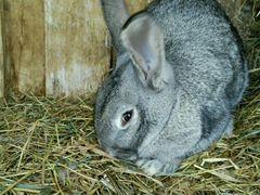 Продаю кроликов для разведения