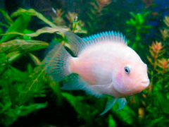 Продам рыбки Цихлазома