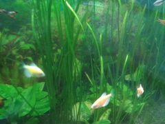 Растения для аквариума. поделюсь ряской для аквари
