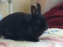 Кролик декоративный мальчик