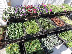 Рассада овощей и цветов