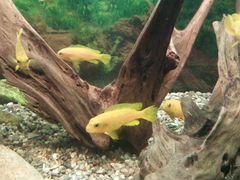 Цихлиды африканские аквариумные