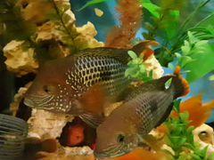 Акара самка и самец,пара