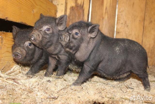 вьетнамские вислобрюхие свиньи породистые собой для