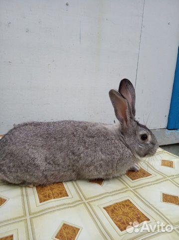 Племенные кролики 89065705365 купить 8