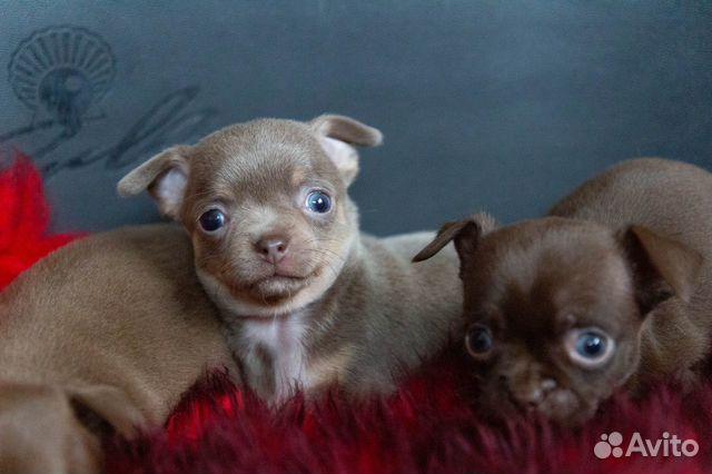 Гладкошёрстные щенки чихуахуа купить на Зозу.ру - фотография № 7