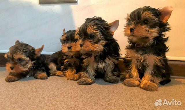 Красивые породные щенки йорка мальчики (видео) купить на Зозу.ру - фотография № 5