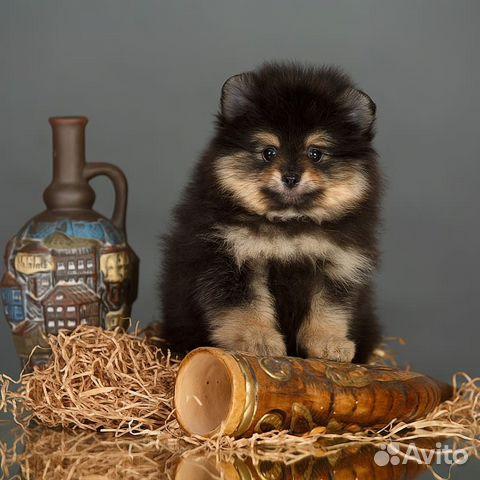 Померанские шпицы купить на Зозу.ру - фотография № 4