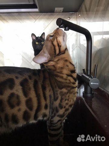 Бенгальский котик вязка  купить 9