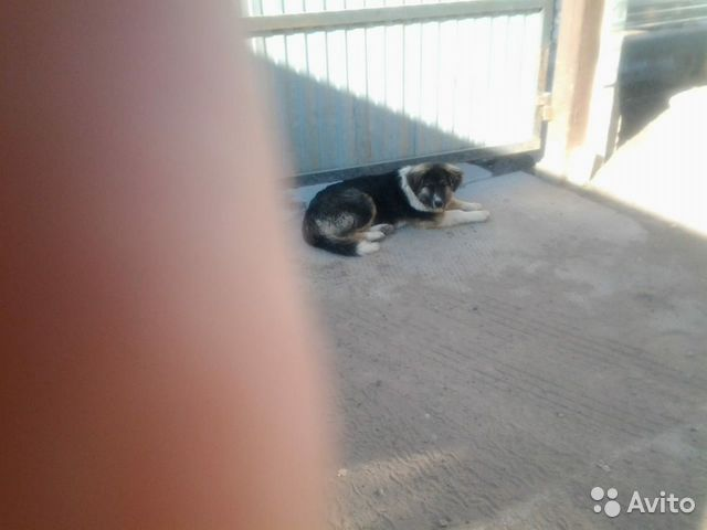 Собаки в надежные ответственные руки  89178080969 купить 5