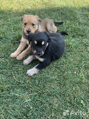 Собака  89277420768 купить 3