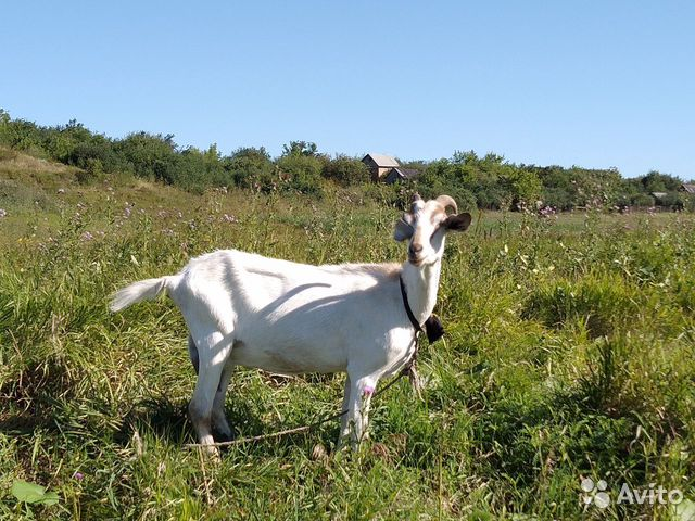 Молодая молочная коза  89876141215 купить 1