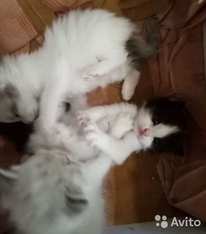 Котята бесплатно  89058718858 купить 3