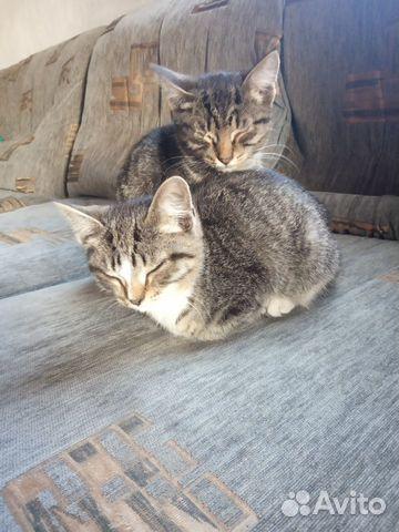 Вислоухий котенок  89237531843 купить 2