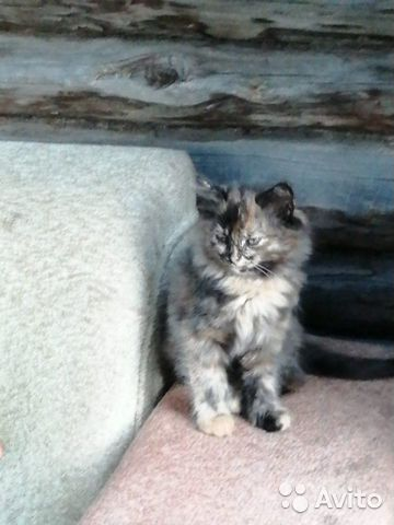 Кошка  89137398914 купить 3