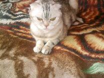 Котёнок девочка, вислоухая метис