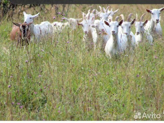 Продам коз намясо н.е.д