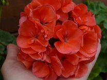 Герани крупноцветковые
