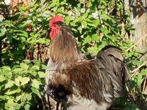 Петухи породы Джерсийский гигант — Птицы в Москве