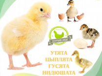 Цыплята, гуси, утята, индюшата