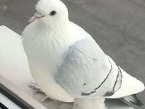 Отдадим даром голубя
