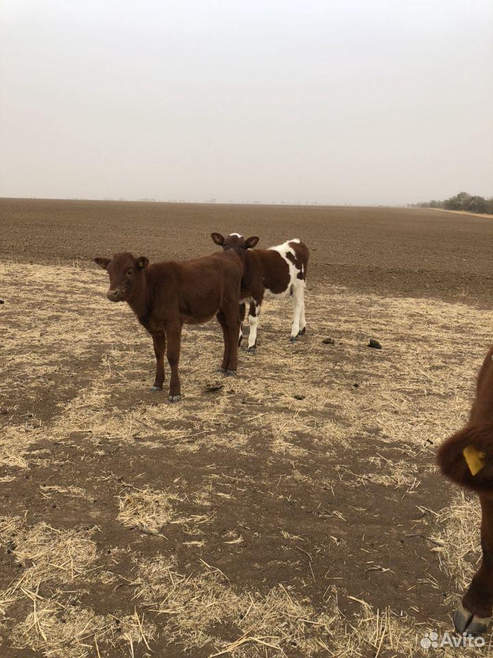 Коровы с телятами и две годовалые телки  89281899595 купить 4
