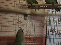 Птенцы Неразлучника розовощекого, домашнего развед — Птицы в Москве