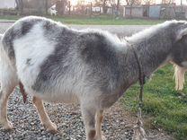 Коза — Другие животные в Великовечном