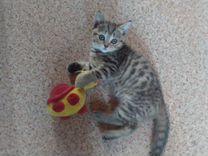 Шотландский котенок (девочка)