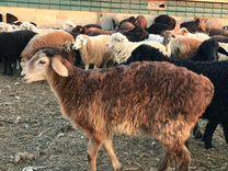 Ягнята, овцы бараны