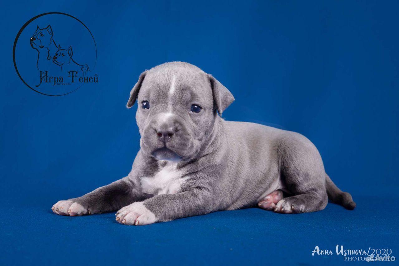 Puppies amstaff  89209620961 buy 3