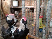 Племенные куры мясо-яичной породы, цыплята, петухи