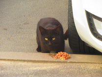 Кот(кошка) -похож британца-бегает на ул.Рогожников