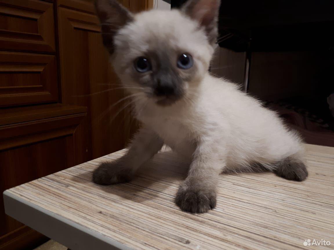 Кошка 89620780609 купить 4