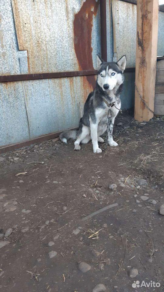Siberian husky  89500609111 köp 3
